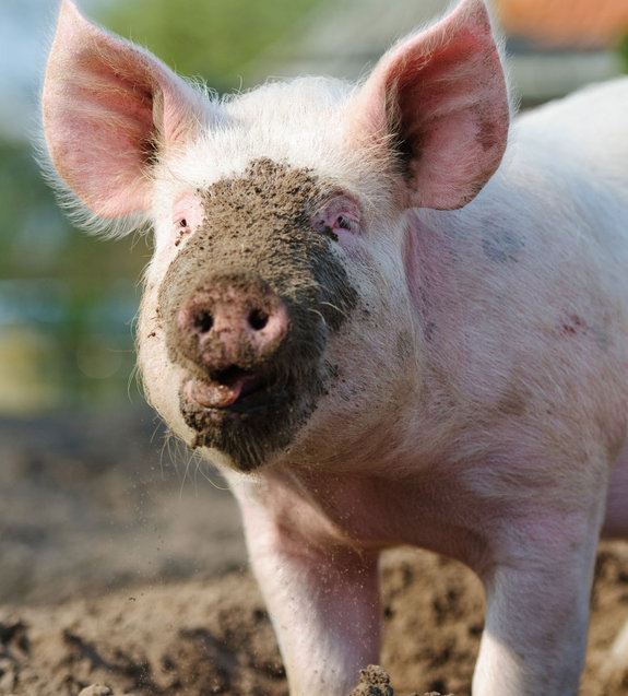 A muddy pig, representing Dominion Energy