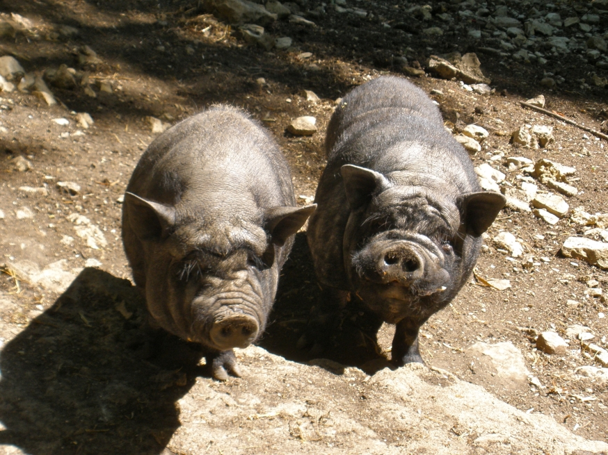 Two pigs illustrating Dominion Energy's Ratepayer-Ripoff legislation