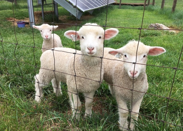 Sheep like these are used to keep grass mowed around solar panels.